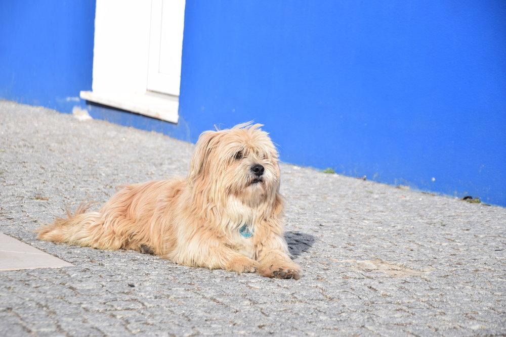 Portuguese-dog.jpg