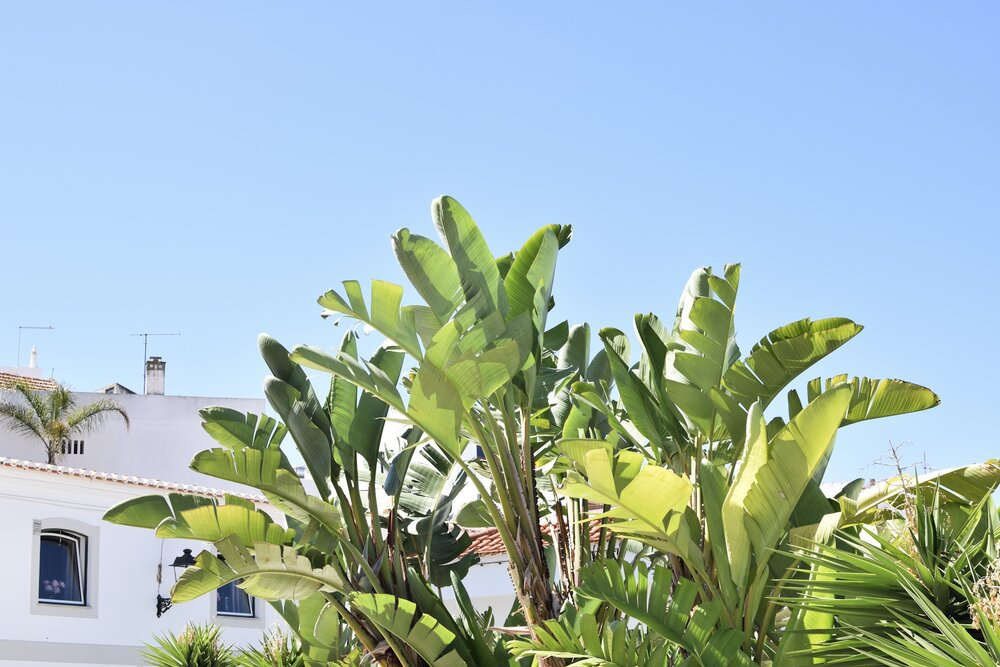 blue-skies-banana-palm.JPG