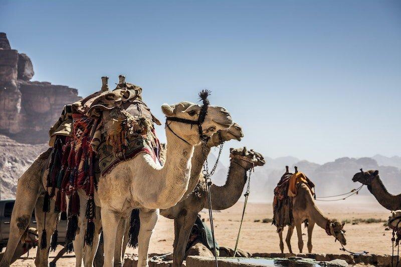 camels-dessert.jpeg