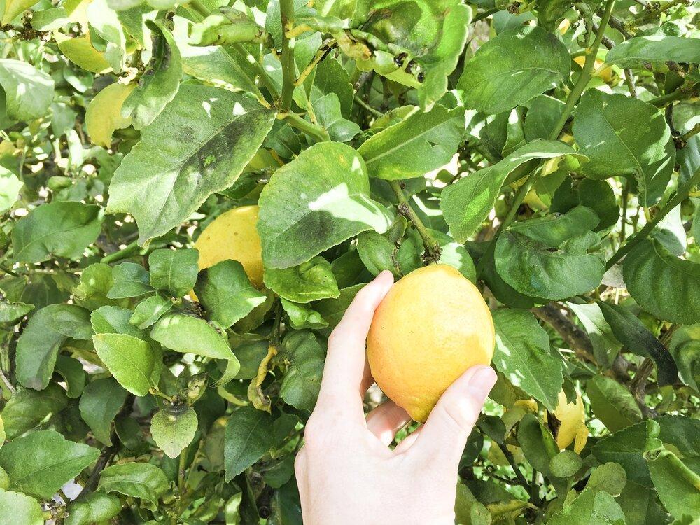 fresh-lemons.JPG