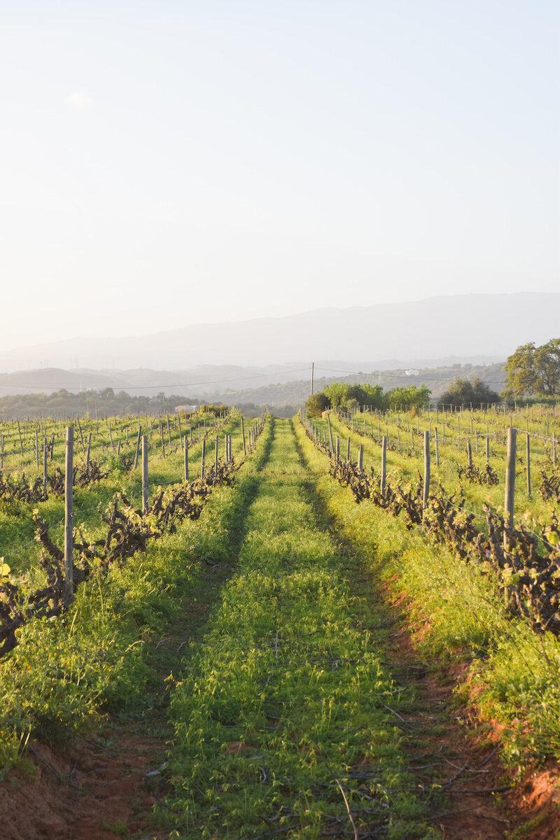 golden-light-vineyard-algarve.jpg