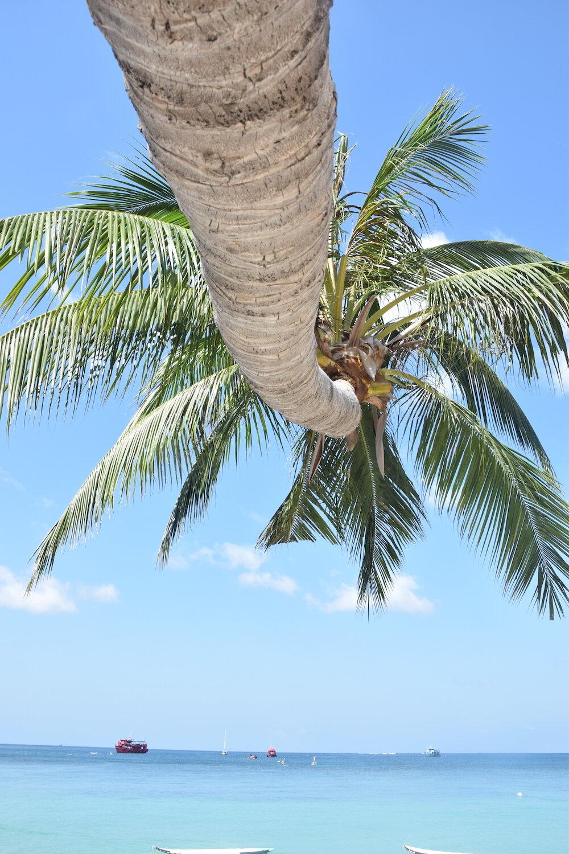 koh-tao-palm-tree.JPG