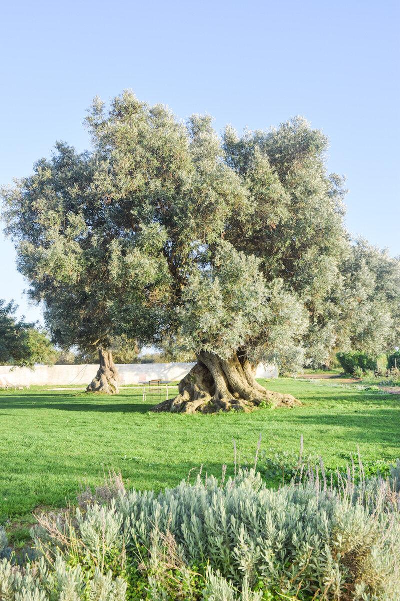 olive-tree-morgado-do-quintao.jpg