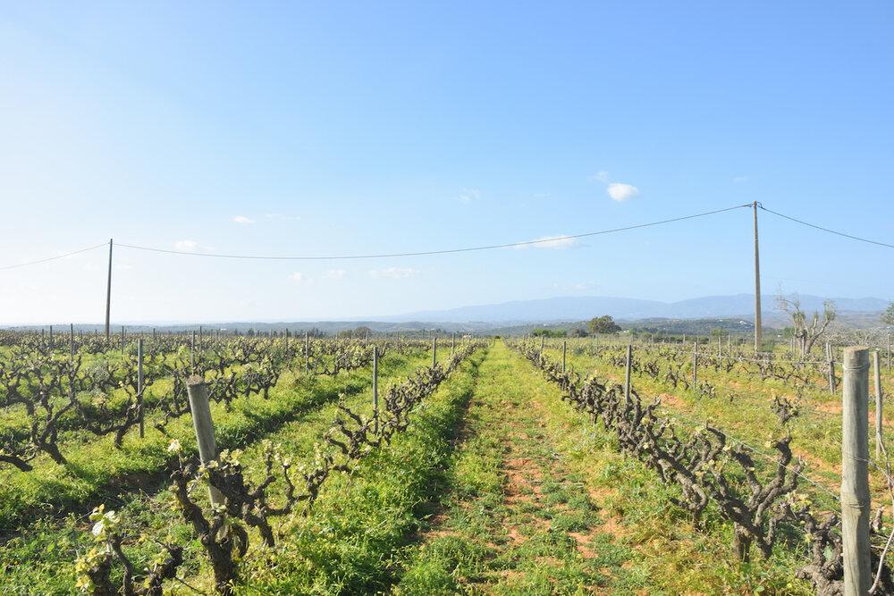 vineyard-agarve-morgado-do-quintao.jpg