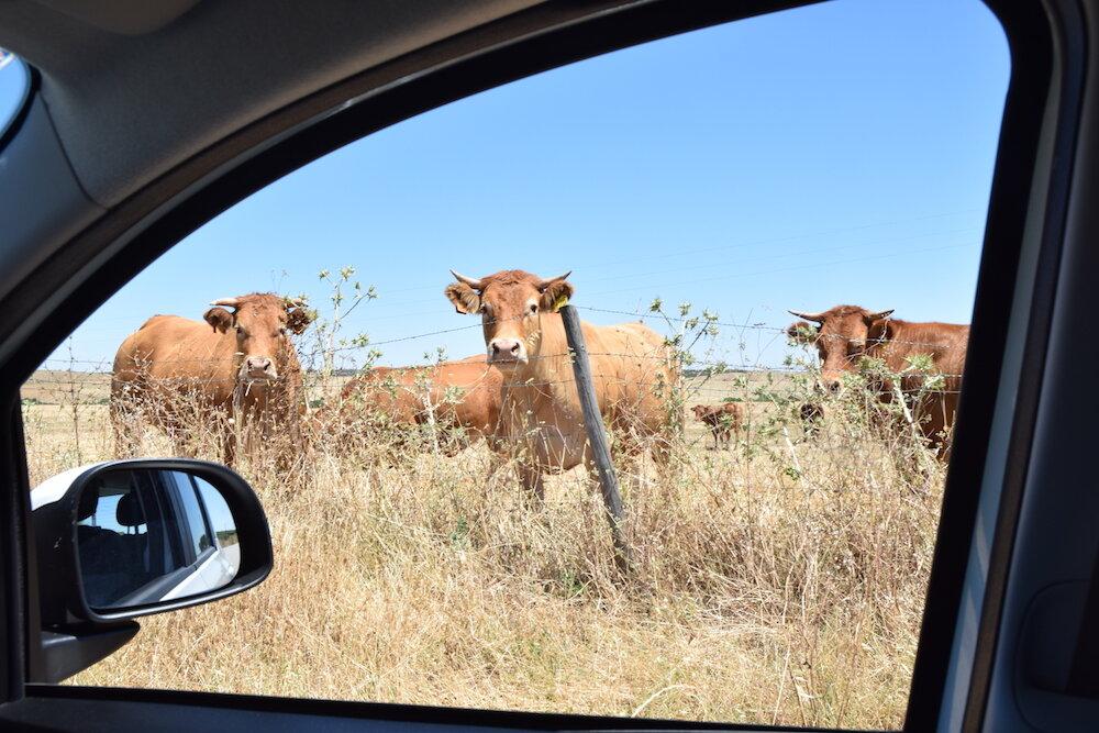 Car window view of cows in Alentejo